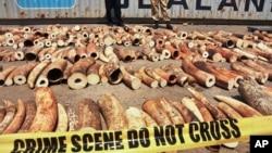 Các viên chức Kenya trưng ra một số ngà voi tịch thu được