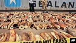 肯尼亚官员展示在港口城市蒙巴萨收缴的隐藏在芝麻口袋里的大批象牙。(2013年1月8日资料照)