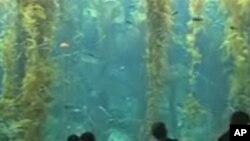 游客参观加州科学中心生态系统展里的巨人海带森林