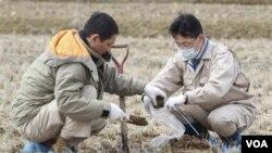 Para ahli Jepang memeriksa tanah persawahan di kota Kunimimachi, untuk mendeteksi apakah tanaman padi juga tercemar radiasi.