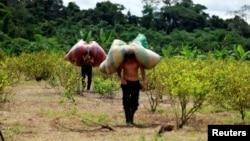哥倫比亞人將成袋的古柯葉運往生產可卡因的設施 - 資料照片
