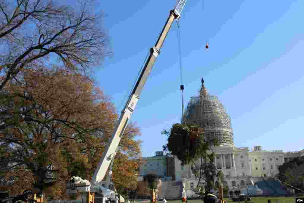 工人们用吊车卸下圣诞树 (美国之音杨晨拍摄)
