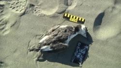 美国万花筒:气候变暖造成美西岸海鸟死亡