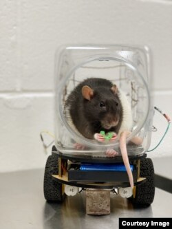 Research scientists at the University of Richmond announced they had successfully trained rats to drive small vehicles created for them. One of the main findings of the experiment was that the driving activity seemed to help the rats relax. (University of