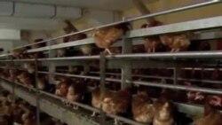 看天下: 德国有机鸡蛋造假之谜