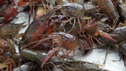 Crawfish Deeply Rooted in Louisiana Culture