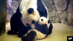 小熊貓寶寶1月18號首次與公眾見面。