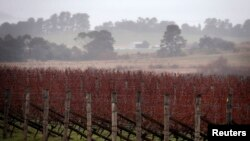 FILE - Rows of vines can be seen at an Australian winery.