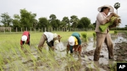 Local Cambodian farmers plant rice at a farm during the rainy season in Phlang village, May 16, 2012.