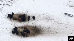 Livestock huddle as they feed in an open field covered in ice, Dec. 7, 2013, near Corinth, Texas.