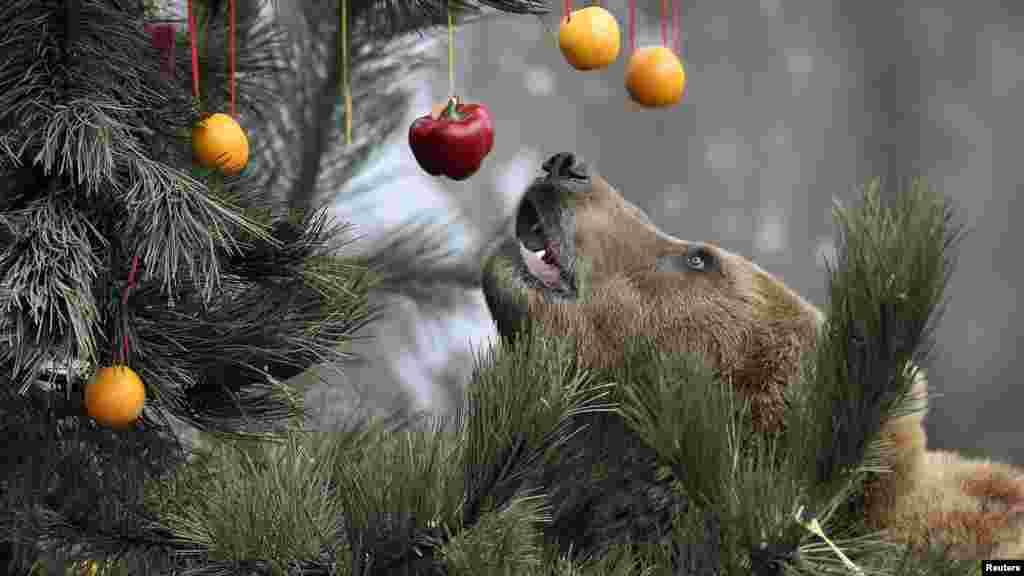 L'Ours maron Kamchatka Mascha se trouve à côté d'un arbre de Noël, décoré avec des fruits et du poisson, au zoo d'Hagenbecks à Hambourg, Allemagne, 5 décembre, 2014.