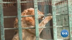 Sick Lions Mean Tough Decisions For Pakistani Zoo