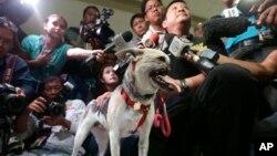Dr Anton Lim diwawancarai oleh media saat memegang Kabang, anjing campuran berumur dua tahun setibanya di Bandara Internasional Ninoy Aquino, kota Pasay, selatan Manila, Filipina (8/6) dari San Francisco, California. Kabang menjalani pengobatan di rumah sakit hewan Davis, University of California, untuk mengobati luka akibat kehilangan moncong dan rahang atasnya saat menyelamatkan nyawa dua gadis di Filipina (AP Photo / Bullit Marquez)