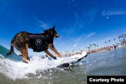A canine competitor at the 7th annual Surf City Surf Dog competition in Huntington Beach, California, Sept. 27, 2015. (Courtesy: Dominique Labrecque)