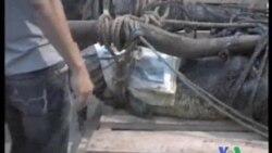 2011-09-10 粵語新聞: 動物組織要求菲律賓釋放巨鱷