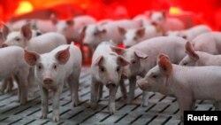 资料照:法国布耶梅纳尔一家养猪场的猪。