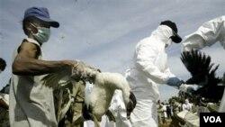 Pemerintah AS mengkhawatirkan para teroris akan memanfaatkan informasi hasil penelitian untuk menciptakan virus flu burung (foto: ilustrasi pemberantasan unggas yang terjangkit flu burung).
