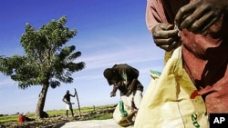 Two haitian men unpack sacks of fertilizer near a rice field in the Artibonite valley in central Haiti (File)