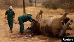 FILE - Workers perform a post-mortem on the carcass of a rhino after it was killed for its horn by poachers at the Kruger National Park in Mpumalanga province, South Africa.