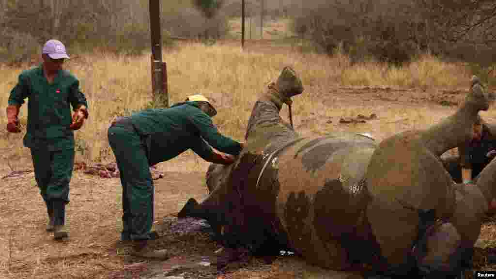 Des agents de la garde-forêt examinent la dépuoille d'un rhinocéros tué par des bracaonniers pour sa corne au Parc National de Kruger, dans la province sud-africaine de Mpumalanga.