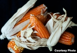 Vitamin A Maize Corn from HarvestPlus