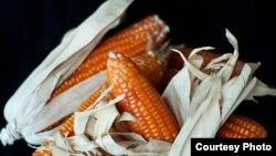Le maïs orange de HarvestPlus (Photo Joslin Isaacson, HarvestPlus)