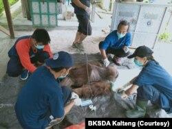 Orangutan Kalimantan jantan berusia 25 tahun yang terluka karena sayatan senjata tajam saat mendapatkan perawatan medis dari tim dokter BKSDA Kalteng. (Courtesy: BKSDA Kalteng).