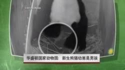 华盛顿动物园:新生熊猫幼崽是男孩