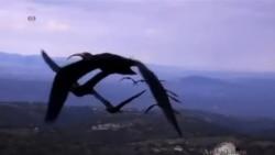 """Quşlar niyə """" V """" formasında uçur ?"""