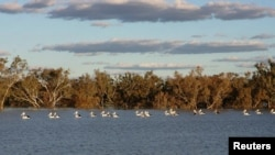 In an undated photograph, pelicans swim in a river at the cotton producer Cubbie Station near Dirranbandi in Queensland, 600 km west of Brisbane, August 17, 2009.