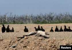 Vultures sit next to the carcass of a yacare caiman at a dried-up artificial pond at the Agropil ranch in Boqueron, Paraguay, Aug. 14, 2016.