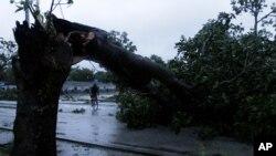 Cây cổ thụ bị gẫy khi bão Sandy thổi vào Gibara, Cuba