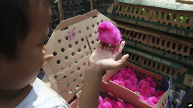 An Indonesian child holds a colored chick to be sold at a chicken farm in Jakarta, Indonesia, December 18, 2012.