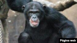 Chimpanzés são ameaça no Namibe