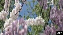 Festivali kombëtar i lulëzimit të qershive