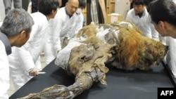 Des restes de mammouth découverts en Sibérie