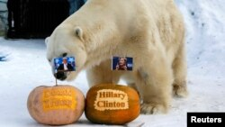 Felix, a male polar bear, stands near pumpkins with portraits of U.S. presidential nominees Hillary Clinton and Donald Trump as it predicts the result of U.S. presidential election at the Royev Ruchey zoo in Krasnoyarsk, Siberia, Russia, November 7, 2016.