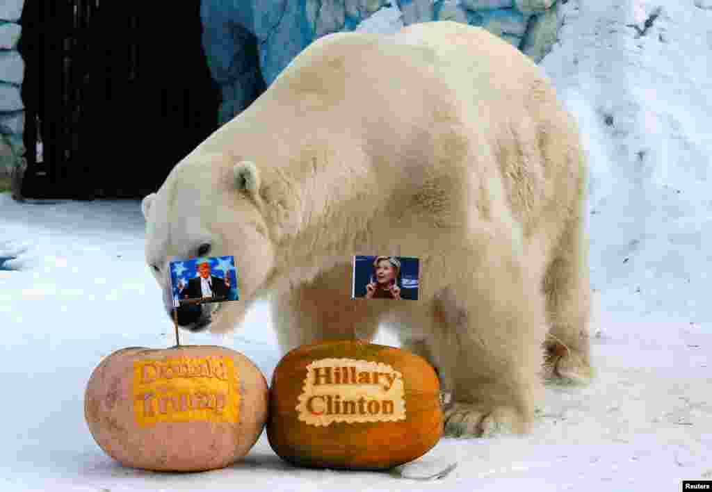 Felix, a male polar bear, stands near pumpkins with portraits of U.S. presidential nominees Hillary Clinton and Donald Trump as it predicts the result of the U.S. presidential election, at the Royev Ruchey zoo in Krasnoyarsk, Siberia, Russia.