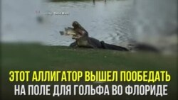 Большая рыба для большого аллигатора