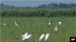 Rižino polje u Louisiani