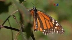 Amenazada migración de mariposas monarca por cambio climático