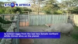 VOA60 Africa - Kenya: Scientists extract eggs from the last two female northern white rhinos alive on the planet