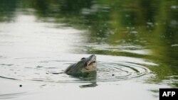 Rùa Hồ Gươm, cân nặng khoảng 200 kg đã bị thương do trúng phải cần câu và tình trạng rùa tai đỏ xâm nhập khắp hồ trong những năm gần đây