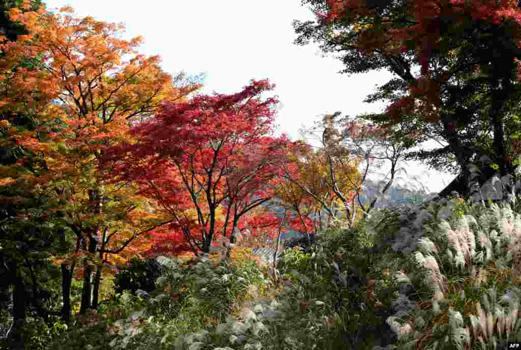 Leaves change their color in the autumn season in Hakone town, Kanagawa prefecture, some 100 kilometres west of Tokyo, Japan.