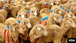Each sheep in the experiment was fitted with a small blue backpack with a Global Positioning Device (Photo by A. J. Morton).