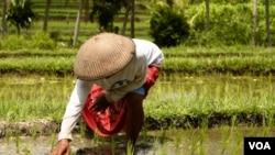 Menurut LSM, 70 persen produksi pangan Indonesia dihasilkan oleh petani kecil.