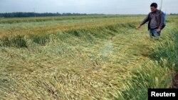 2013年5月27日山东省枣庄农民撒化肥。