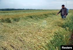 FILE - A farmer sprinkles chemical fertilizer on his wheat field in Zaozhuang, Shandong province, China.