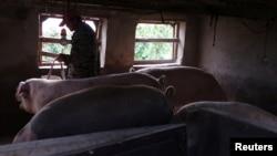 中国黑龙江省哈尔滨市郊一个养猪场的工人在喂猪。(2018年9月5日)