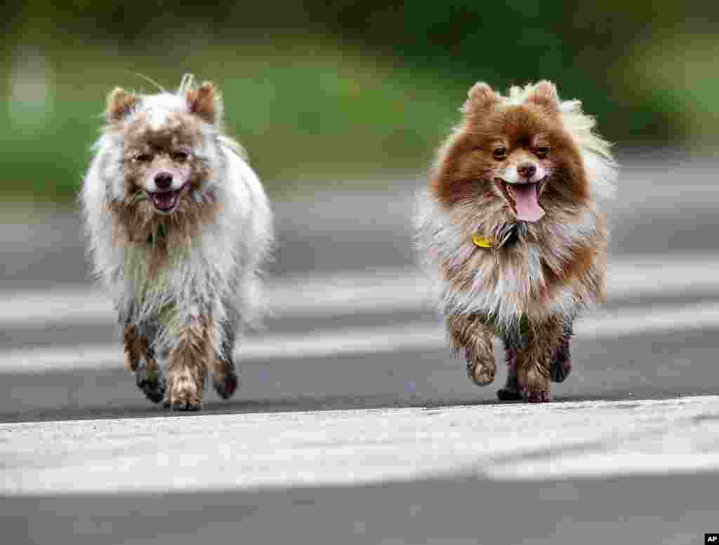 Two dogs walk at a former U.S. military airbase in Frankfurt, Germany.